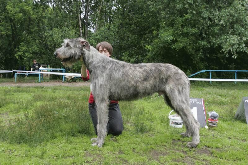 черешни грецкими английский волкодав собака фото Братск Автостекло, установка