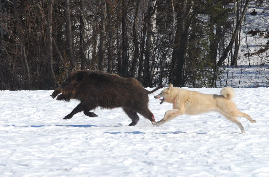 B Охота с лайкой на медведя, кабана. Фото.